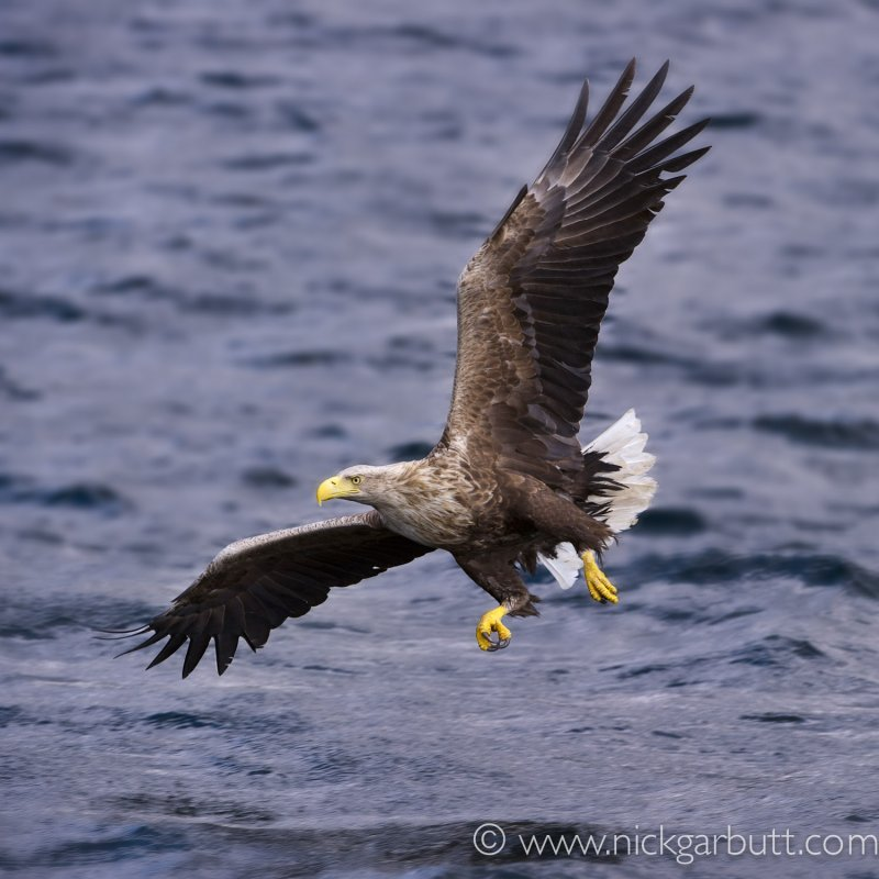 Sea Eagle by Nick Garbutt
