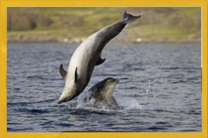 Dolphins cavorting round the boat