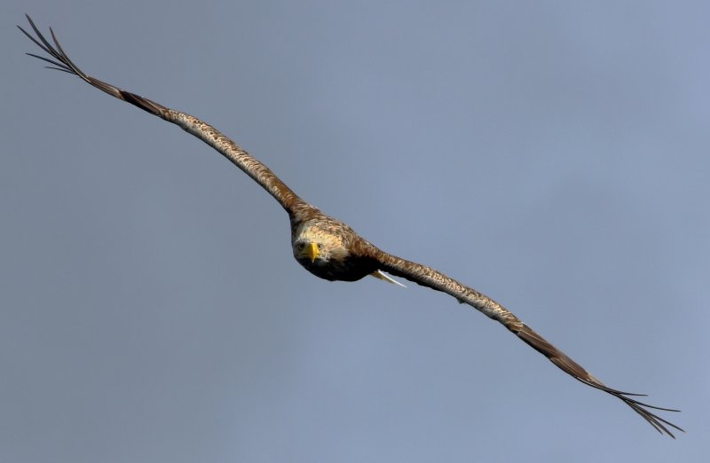 Sea Eagle by KBM wildlife
